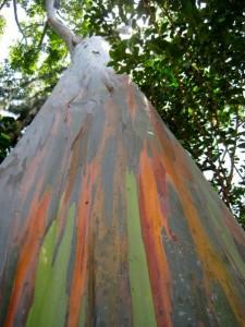 Colourful Tree in Hawaii